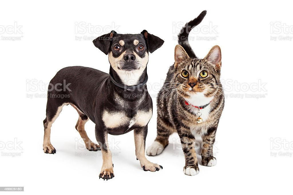 Dog and Cat Standing Looking Up Together stock photo