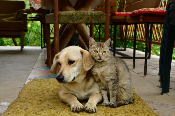 dog and cat to lie in sorrow in their eyes stock photo