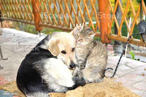 Dog and cat to snuggle in animal love best friends picture id1063313510?b=1&k=6&m=1063313510&s=612x612&h=jnq1hgex4c4s zlz tuao7cgahxpht2cxzcbzm8eh1w=