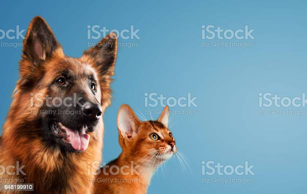 Dog and cat together on blue background picture id648199910?b=1&k=6&m=648199910&s=612x612&h=ldc9ws qs1xzjouzuzwjee jknkmif7itxa0mynhbz4=
