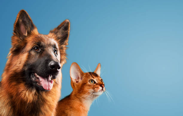 Dog and cat together on blue background picture id648199910?b=1&k=6&m=648199910&s=612x612&w=0&h= y75psgp9emdwdy1t0tqq0eu5mzxv4ieserbbkegxrq=