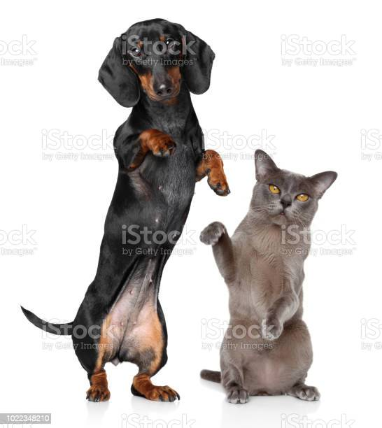Dog and cat together standing on hind legs picture id1022348210?b=1&k=6&m=1022348210&s=612x612&h=mafb9yg2sxlhuvdwim5gdy4dzdhdmwj8m57d8gk kvq=