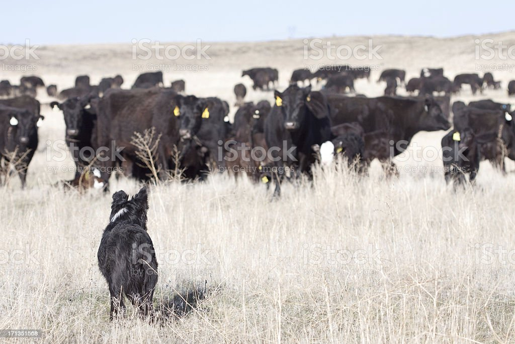 Dog and Cattle on Open Range stock photo