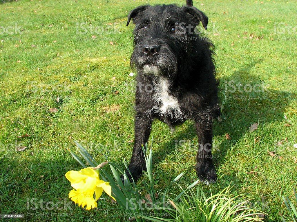 Dog and Daffodil stock photo
