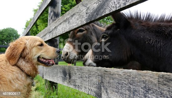 A golden retriever and two miniature donkeys hold a conversation over the fence.