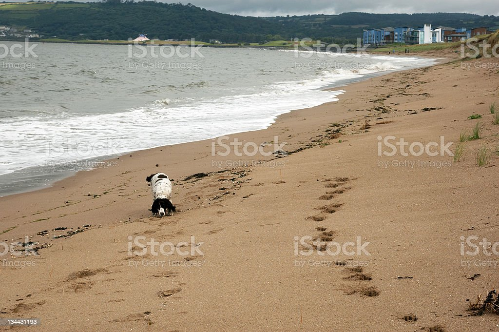 Dog and footsteps beach royalty-free stock photo