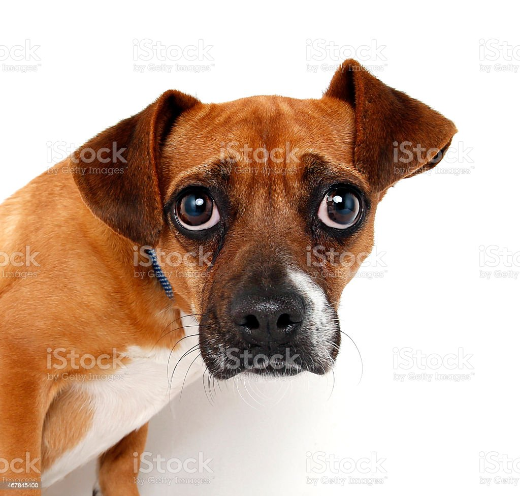 Dog and Funny Expression. Puggle stock photo