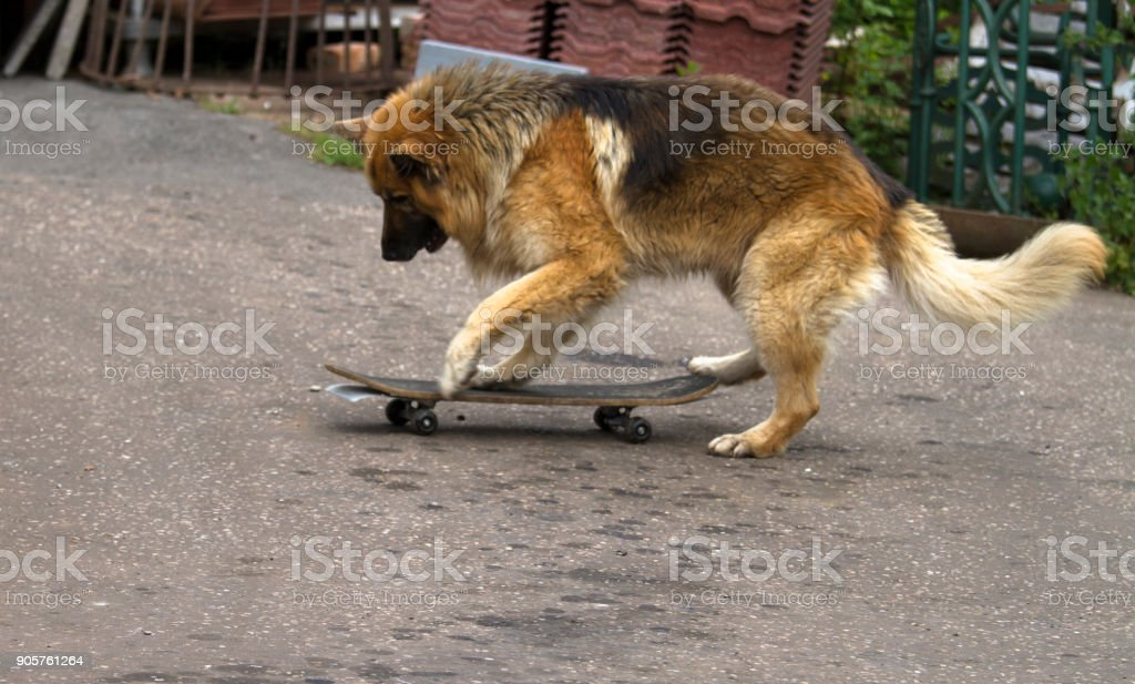 Dog and his skateboard stock photo