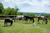 Dog is watching his horses