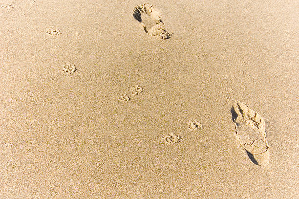 dog and human footprints stock photo