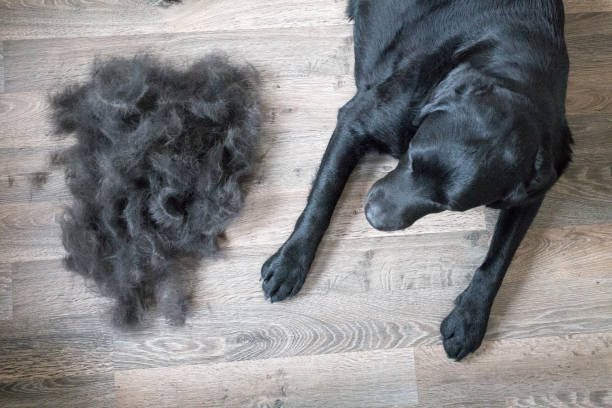 Dog and Its Fur Huge Pile of Fur Brushed off Black Labrador shed stock pictures, royalty-free photos & images