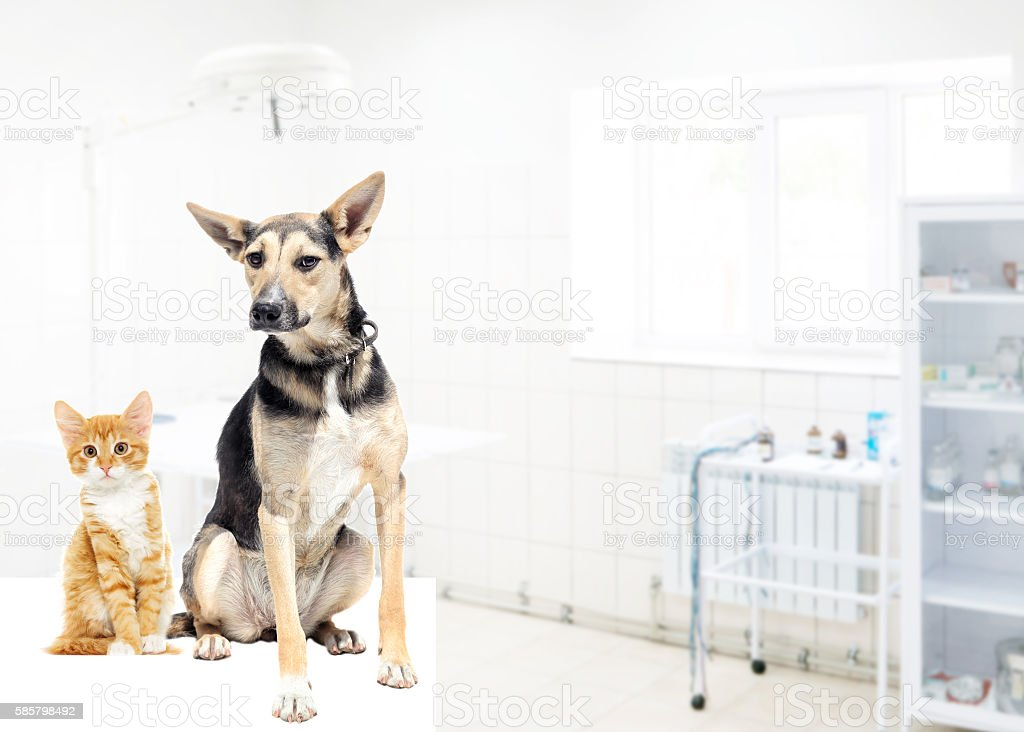dog and kitten in veterinary clinic stock photo
