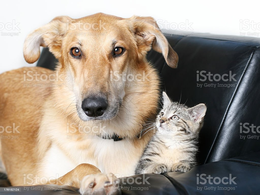Dog and Kitten royalty-free stock photo