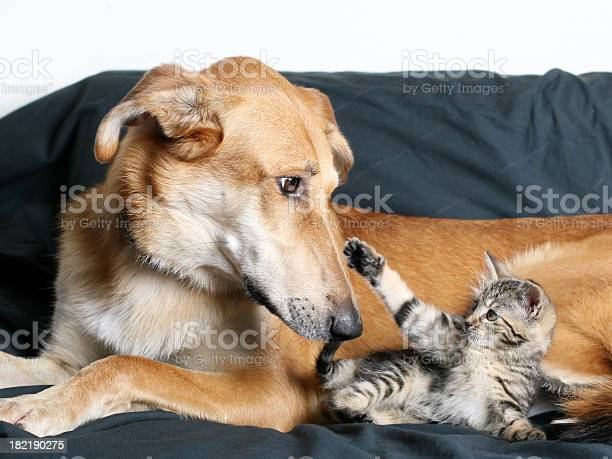 Dog and kitten picture id182190275?b=1&k=6&m=182190275&s=612x612&h=vi 4emlqpslc2j9irgvrvhrelpwdcxlxhljd mu4ly0=