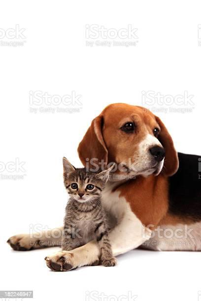 Dog and kitten picture id182246947?b=1&k=6&m=182246947&s=612x612&h=m2nr1ggox1fdlspfjziwwjb0q1rglx1 cniaaisisto=