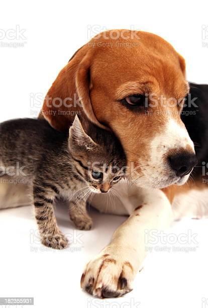 Dog and kitten picture id182355931?b=1&k=6&m=182355931&s=612x612&h=os9fztrioxc8lijrs5avba6cifqqobomn7ziplxashw=