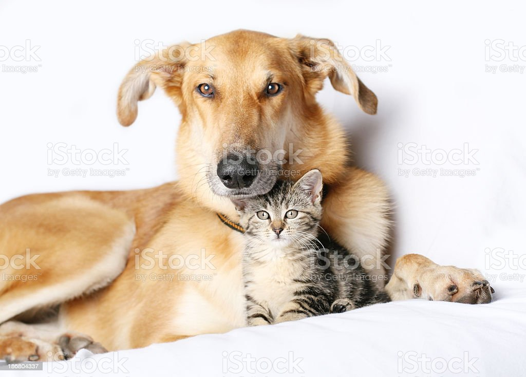 Dog and kitten snuggling together royalty-free stock photo