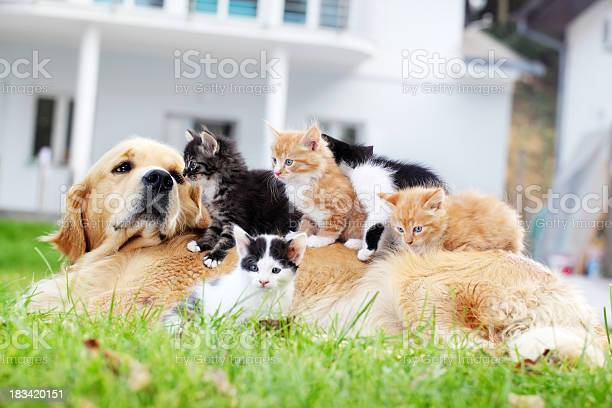 Dog and little cats are lying outdoor picture id183420151?b=1&k=6&m=183420151&s=612x612&h=q0 3xio7w65pfib9qvfnl7rfw7eeo4z7r2add0nf2d8=