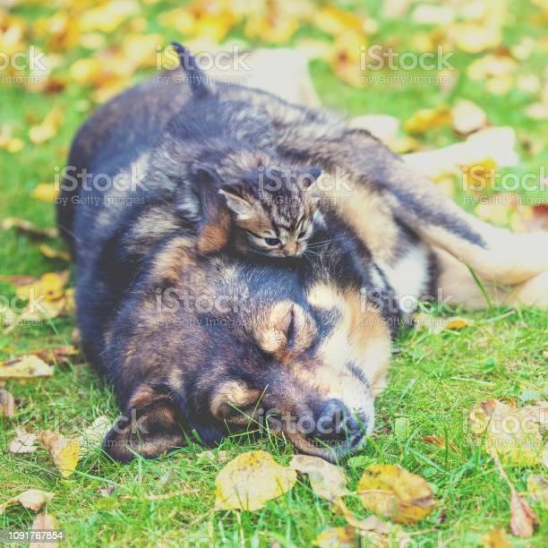 Dog and little kitten best friends play together on the grass in the picture id1091767854?b=1&k=6&m=1091767854&s=612x612&h=dfgqvlxeisutc7qi5kq9rgb i1jfw6kf03oqfli0dty=