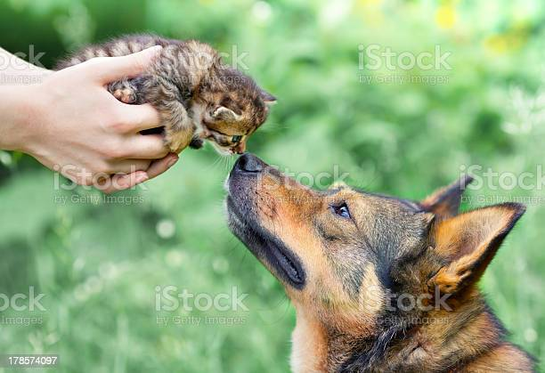 Dog and little kitten in female hands sniffing each other picture id178574097?b=1&k=6&m=178574097&s=612x612&h=mc7bl08 qwfxolafx3dldvpnzmkxj3fwycdaz9f2ujq=