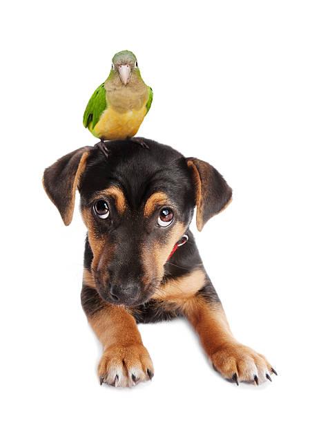 Dog and parrot picture id155282926?b=1&k=6&m=155282926&s=612x612&w=0&h=s0p8mstka4go1cb uuclkbnllbex52yflpincemdwoe=