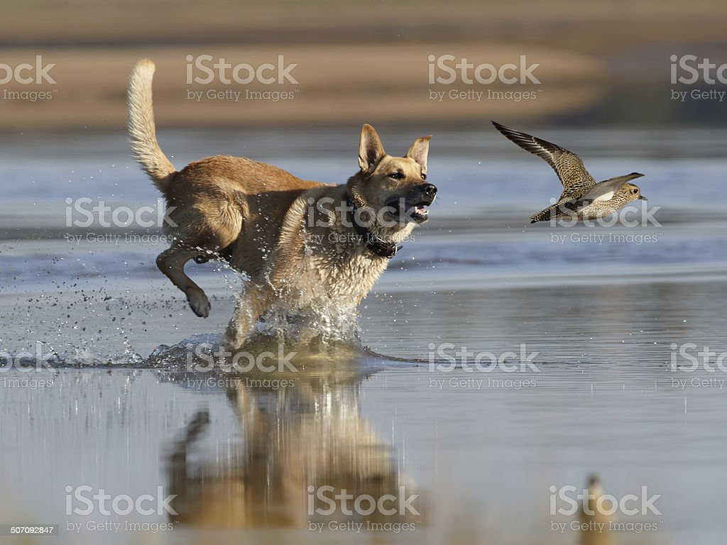 Dog and plover stock photo