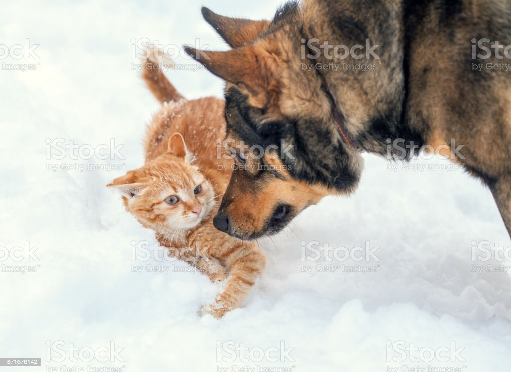 Dog and red cat playing together outdoor in the snow in winter stock photo
