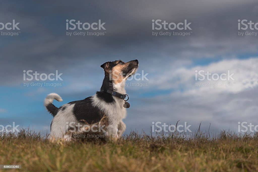 Dog and storm clouds - jack russell terrier – Foto