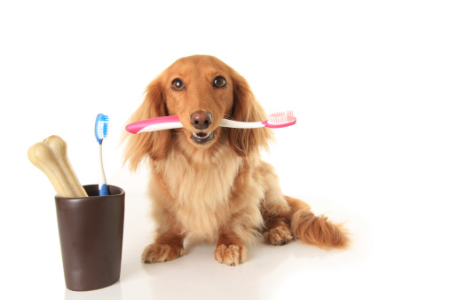Dachshund dog holding a toothbrush.