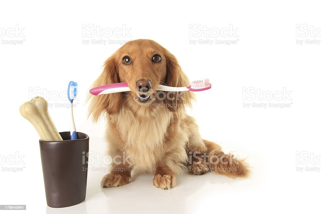 Dog and tooth brush stock photo