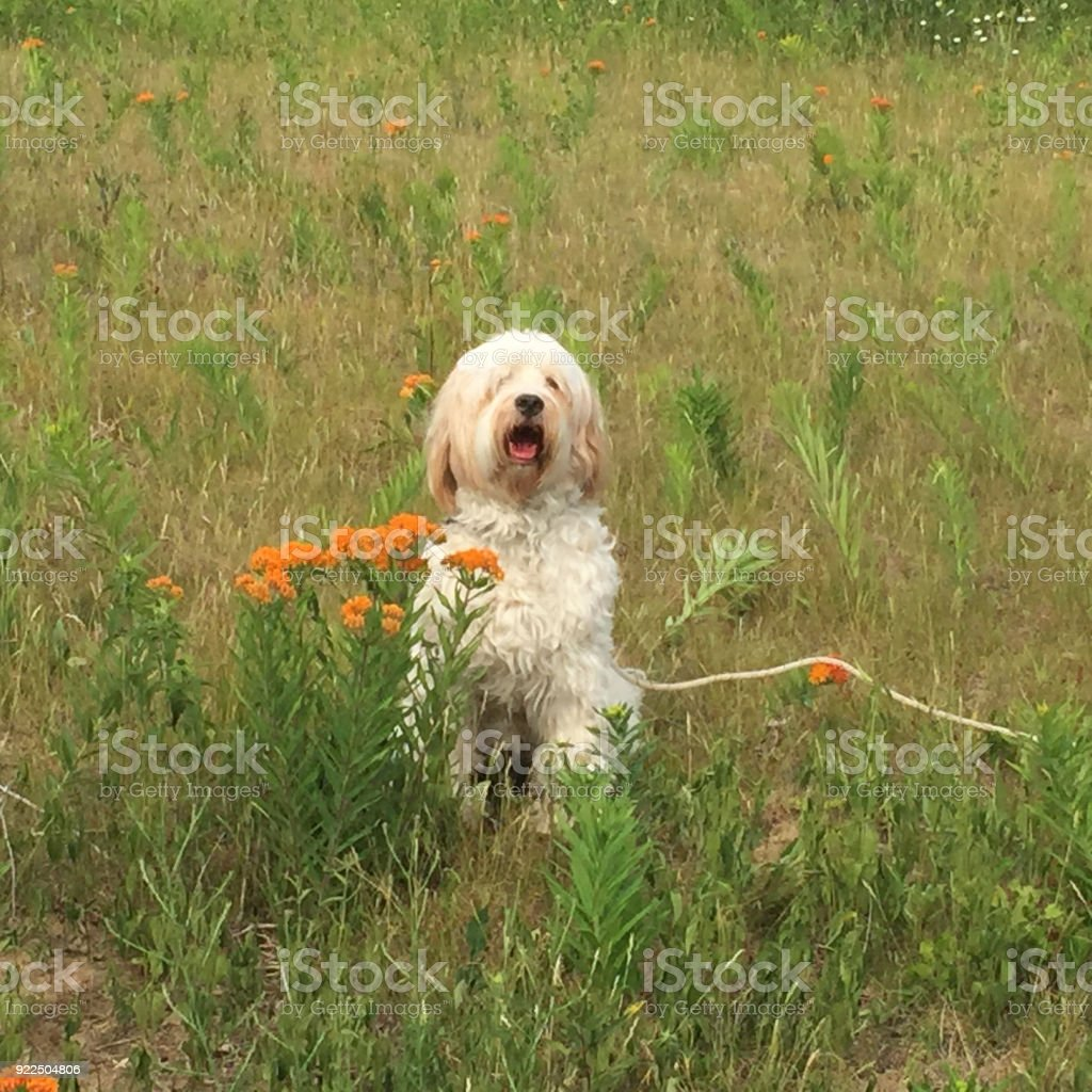 Dog and wild flowers stock photo