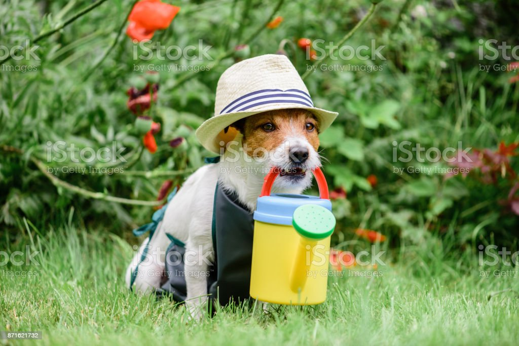 Dog as cute gardener wearing hat and apron with colorful watering can stock photo