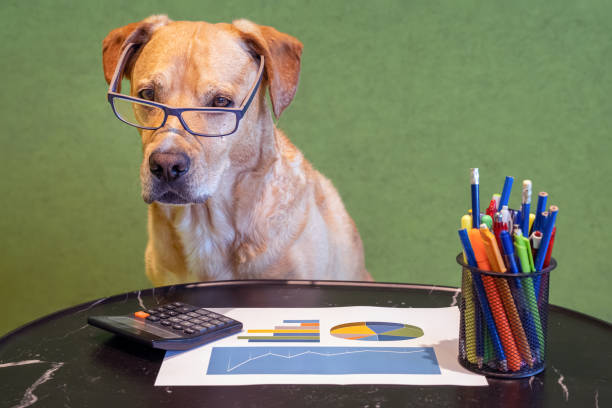Dog as financial work with report, pens and calculater on table. Dog with eyeglasses. stock photo
