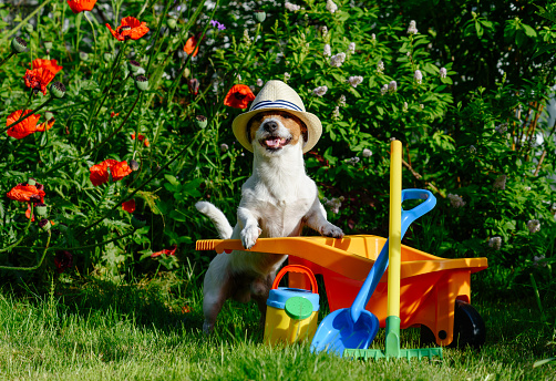 Dog as funny gardener with garden  tools and wheelbarrow near poppy flowers