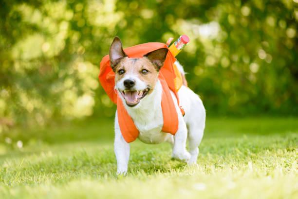 Hond als grappig scholier terug te gaan naar school met rugzak vol van school supplies foto