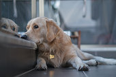 istock Dog at balcony looking at city view wishing to go for walk outside 1284692003