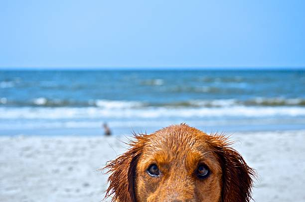 Dog at beach picture id531135467?b=1&k=6&m=531135467&s=612x612&w=0&h=qlszkgyjce5pxnns k1pxzah0dmbywyxc6iasglhjbm=