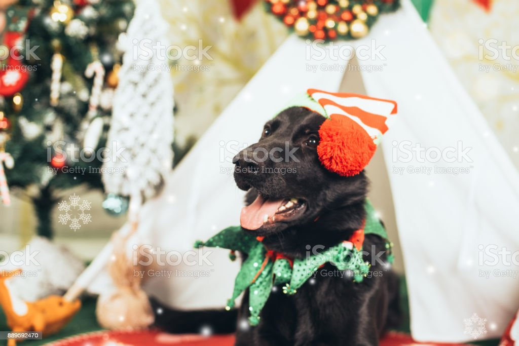 A dog at Christmas background stock photo