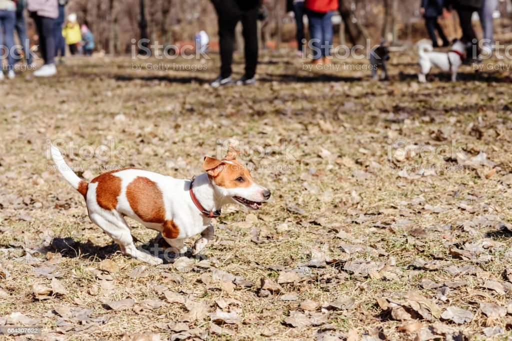Dog at doggy park running off-leash under supervision of owner stock photo