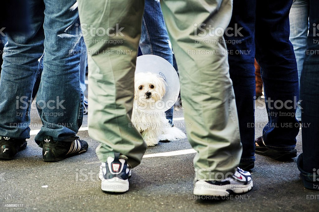 Dog at Obama Rally stock photo