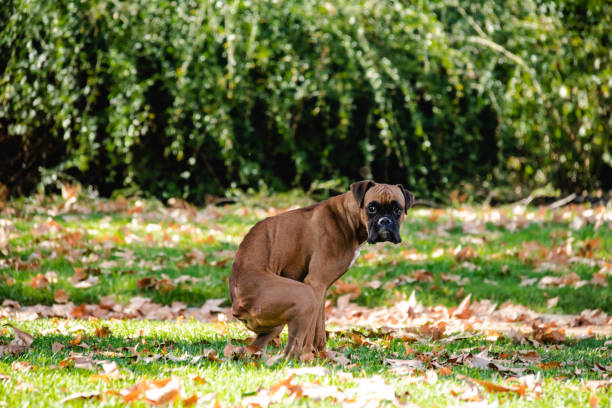 dog at park boxer poop, Dog in the park, Dog shit poop stock pictures, royalty-free photos & images