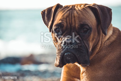Boxer dog on the beach. Face expression and poses. Copy space