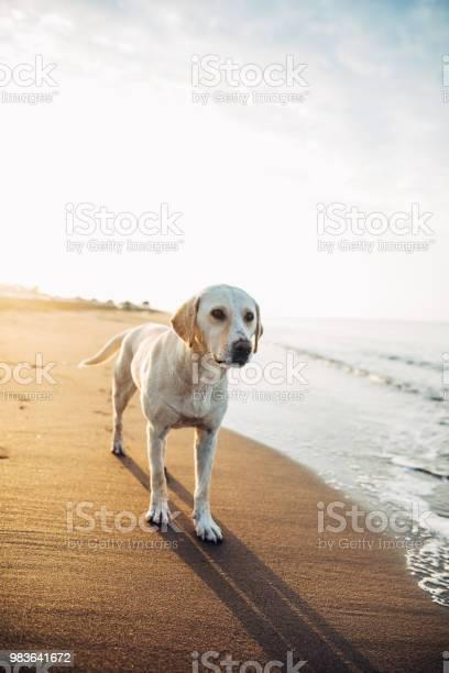 Dog at the beach picture id983641672?b=1&k=6&m=983641672&s=612x612&h=vkqia0ekqis4wvhgqfnhceaa41unedpih0rojsujjpw=