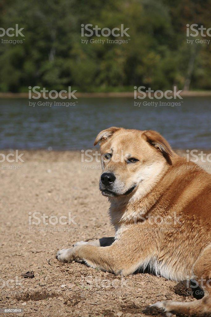dog at the river royalty-free stock photo