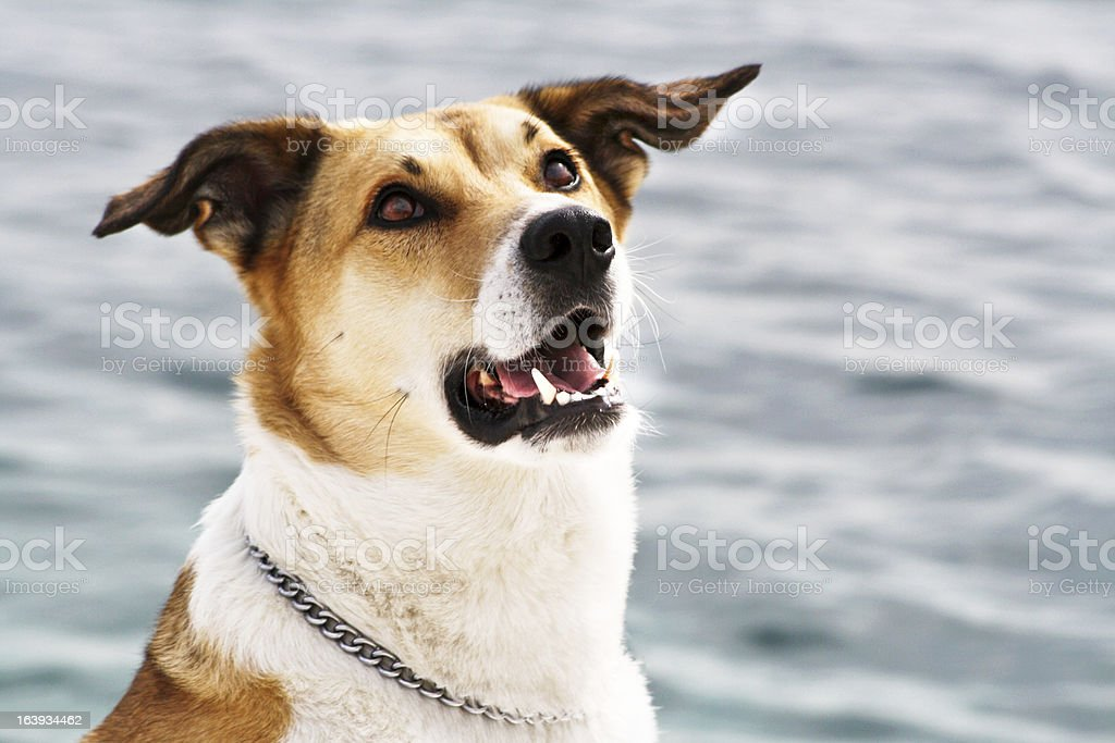 dog at the sea, portrait royalty-free stock photo