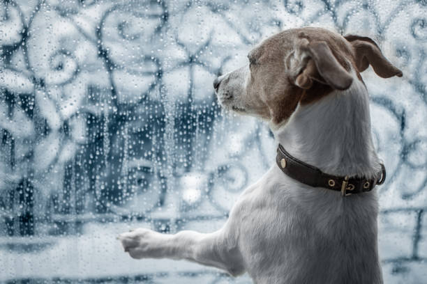 dog-at-window-watching-the-rain-picture-