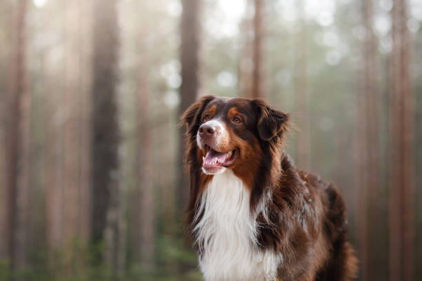 Dog Australian Shepherd in the morning in the forest Dog Australian Shepherd in the morning in the forest australian shepherd stock pictures, royalty-free photos & images