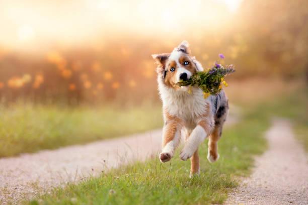 Dog australian shepherd jumps with bouquet picture id829624590?b=1&k=6&m=829624590&s=612x612&w=0&h=z9pueqr2zgnri9nvetpceqocnofpbu6ndahsg1yqhxi=