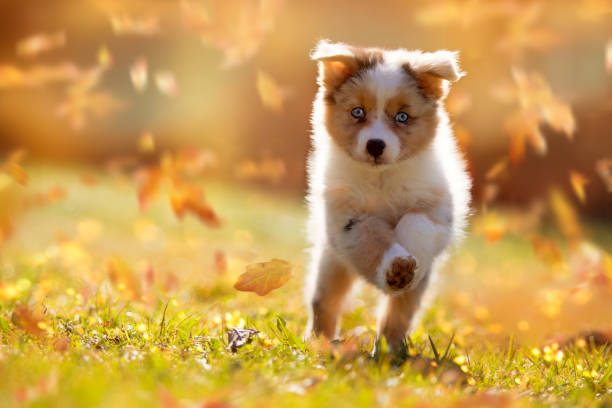 Dog, Australian Shepherd puppy jumping in autumn leaves Dog, Australian Shepherd puppy jumping in autumn leaves over a meadow australian shepherd stock pictures, royalty-free photos & images