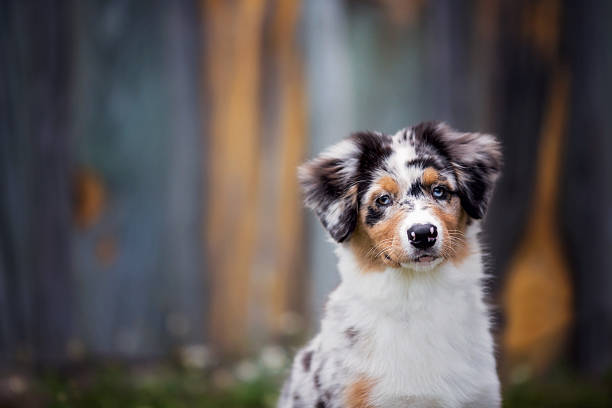 Dog: Australian Shepherd Puppy Adorable Australian Shepherd puppy sitting in front of a colorful wood wall.  australian shepherd stock pictures, royalty-free photos & images